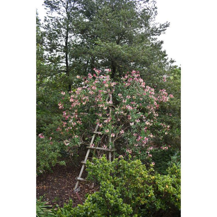 Lonicera ×americana 'Pam's Pink' - American honeysuckle