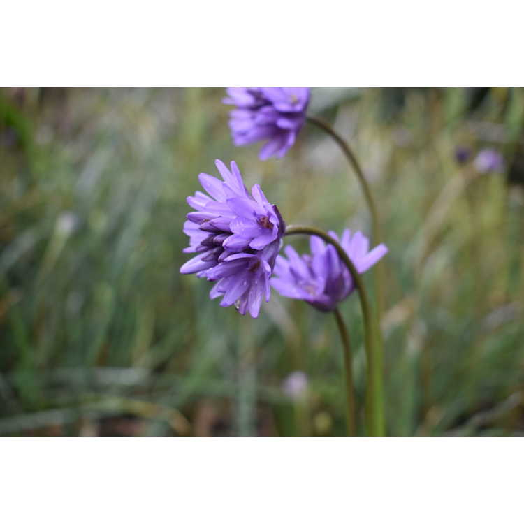 Dichelostemma congestum - fork-toothed ookow
