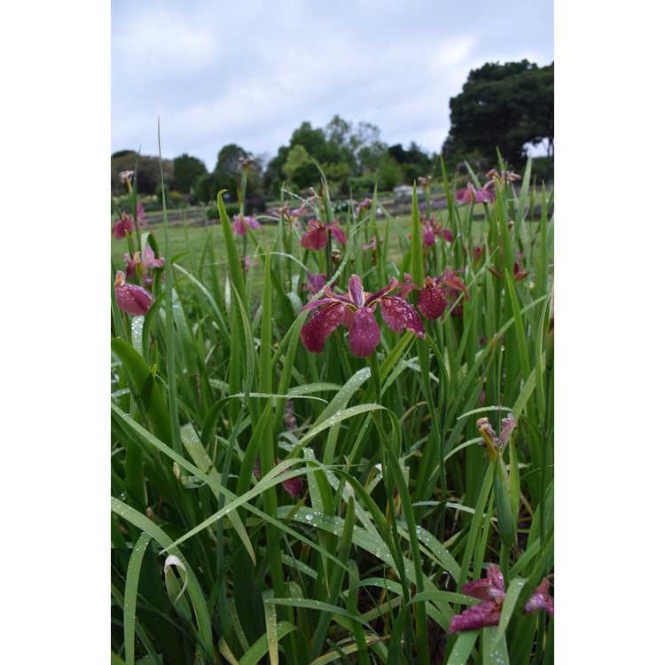 Iris nelsonii - Nelson's iris