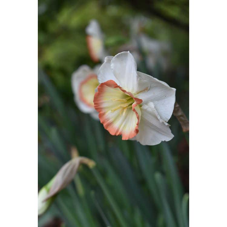 Narcissus 'Night Cap'