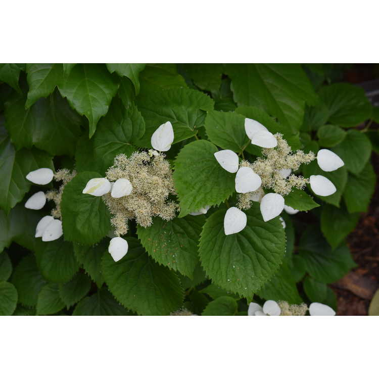Schizophragma hydrangeoides Strawberry Leaf