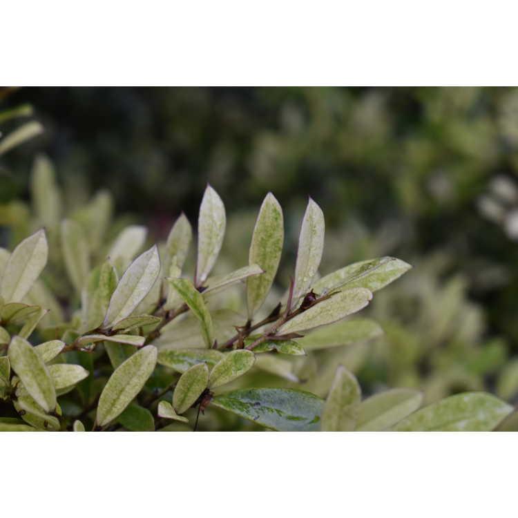Distylium myricoides 'Spg-3-007' - Spring Frost white-flush distylium