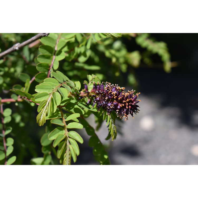 Amorpha georgiana