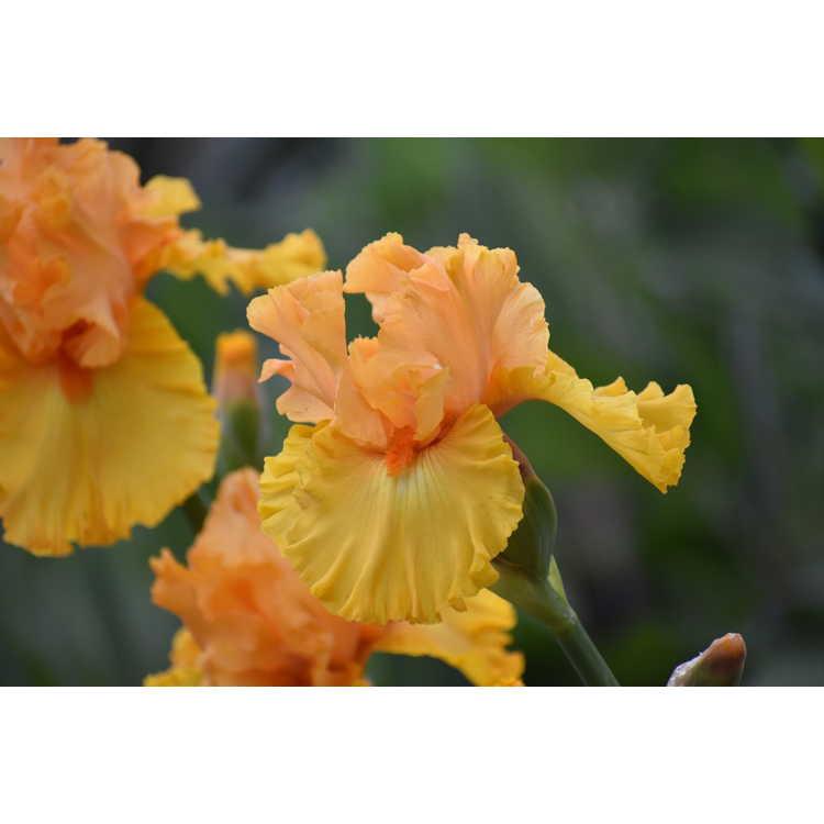 Iris Amplified