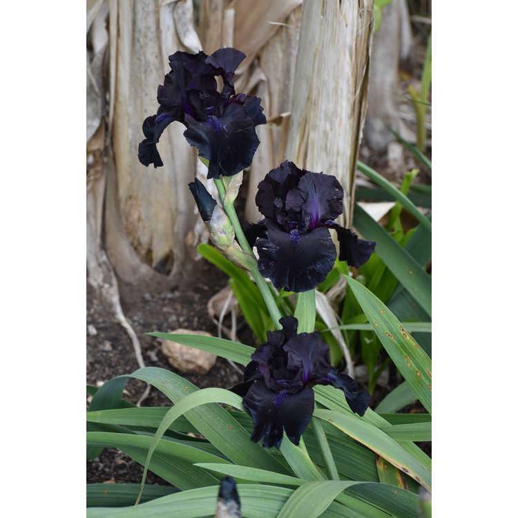 Iris 'Midnight Oil' - tall bearded iris
