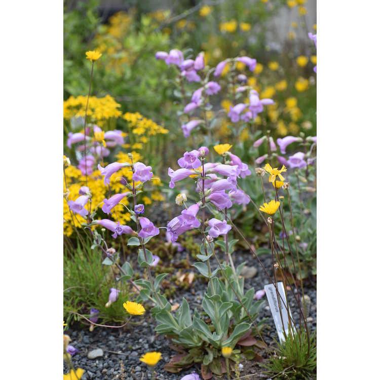 Penstemon grandiflorus - grand flowered beardtongue