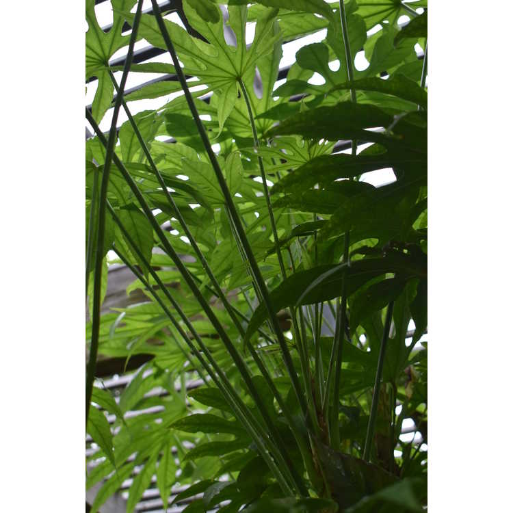Fatsia polycarpa - Taiwan fatsia