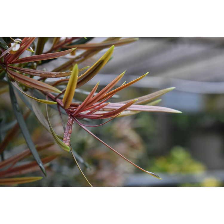 Podocarpus macrophyllus 'Akame' - red-tip Japanese yew-pine