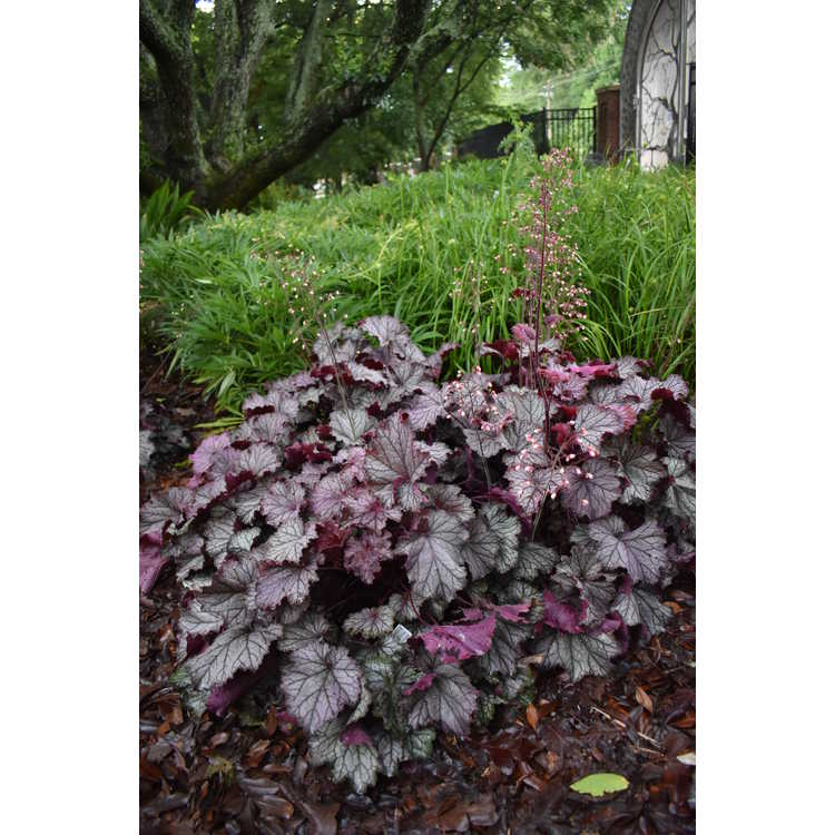 Heuchera 'Tnheuep' - Northern Exposure Purple coral bells
