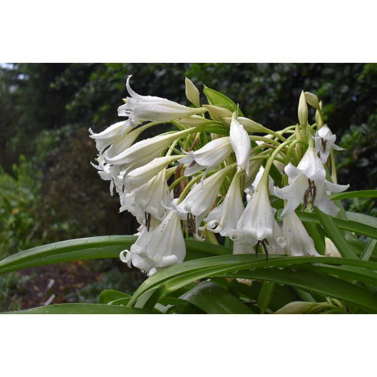 Crinum 'White Queen' - crinum lily