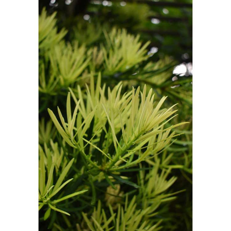 Podocarpus macrophyllus var. maki 'Kinme'