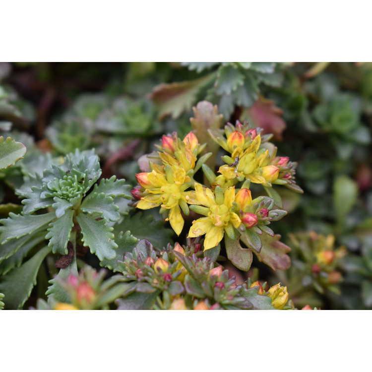 Sedum hybridum 'Czar's Gold'