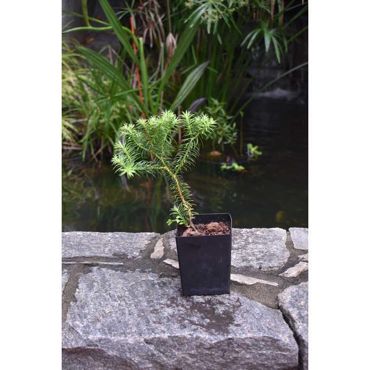 Cupressus vietnamensis