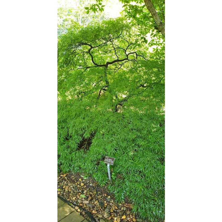 Acer palmatum Dissectum Viride Group - green lace-leaf Japanese maple