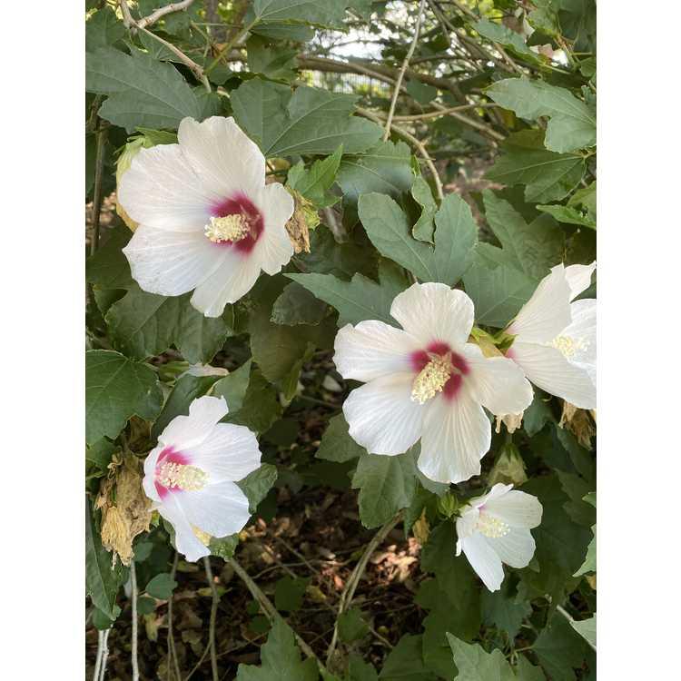 Hibiscus 'Lohengrin' - hybrid rose-of-Sharon