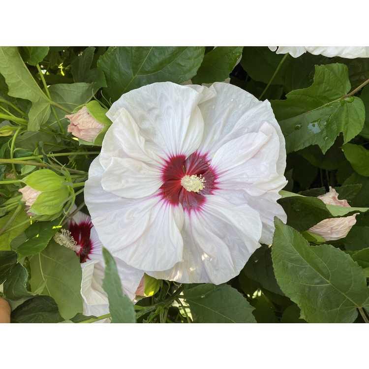 Hibiscus 'Cherry Cheesecake' - Summerific rose mallow