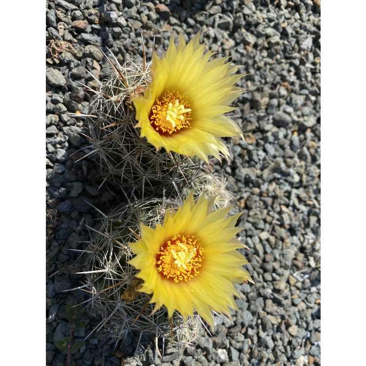 Coryphantha sulcata - pineapple cactus