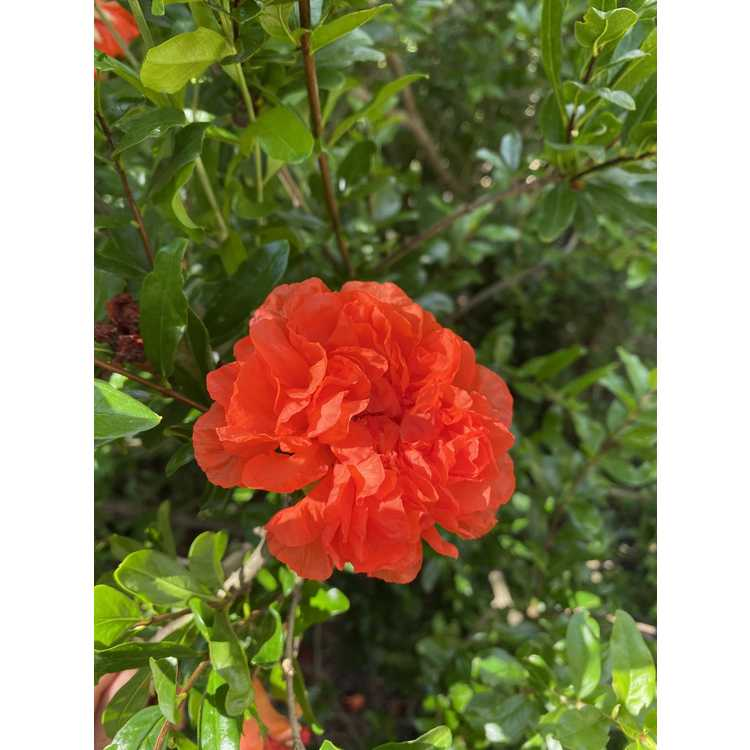 Punica granatum 'Gosai-ryu' - pomegranate