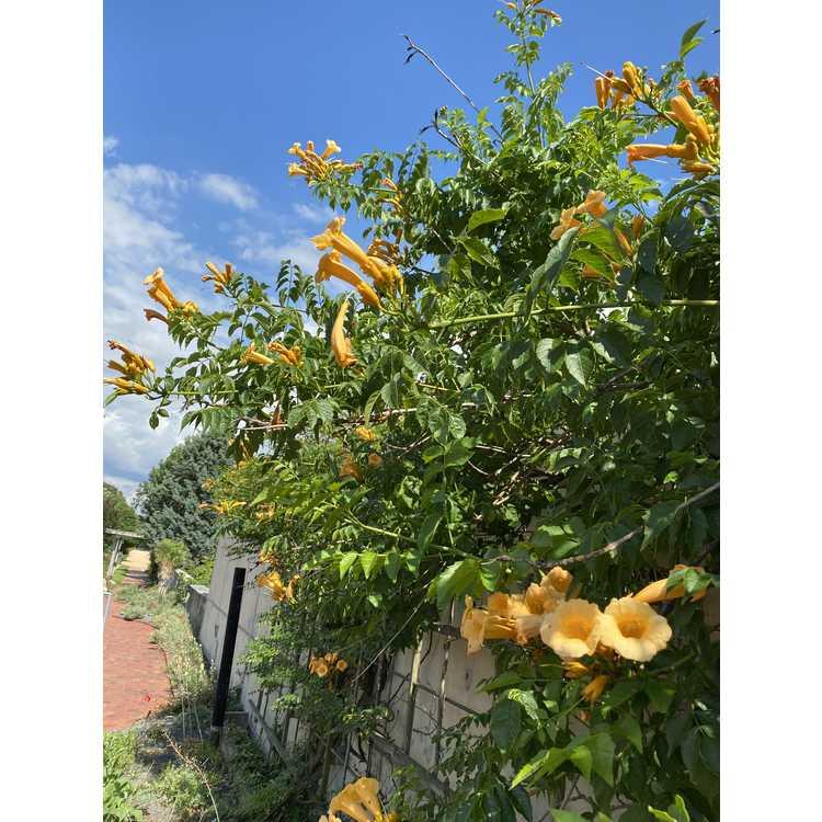 Campsis radicans 'Apricot' - trumpet vine