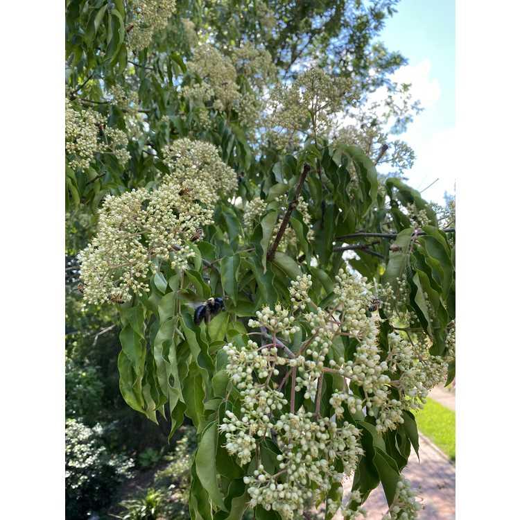 Tetradium glabrifolium - smooth bee bee tree