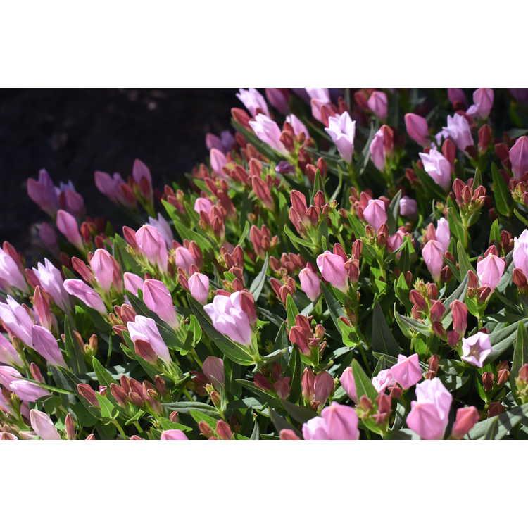 Spigelia gentianoides var. alabamensis - Alabama pinkroot