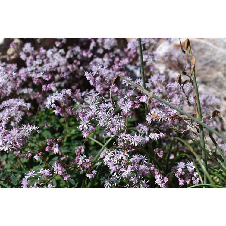 Thalictrum kiusianum - meadow rue