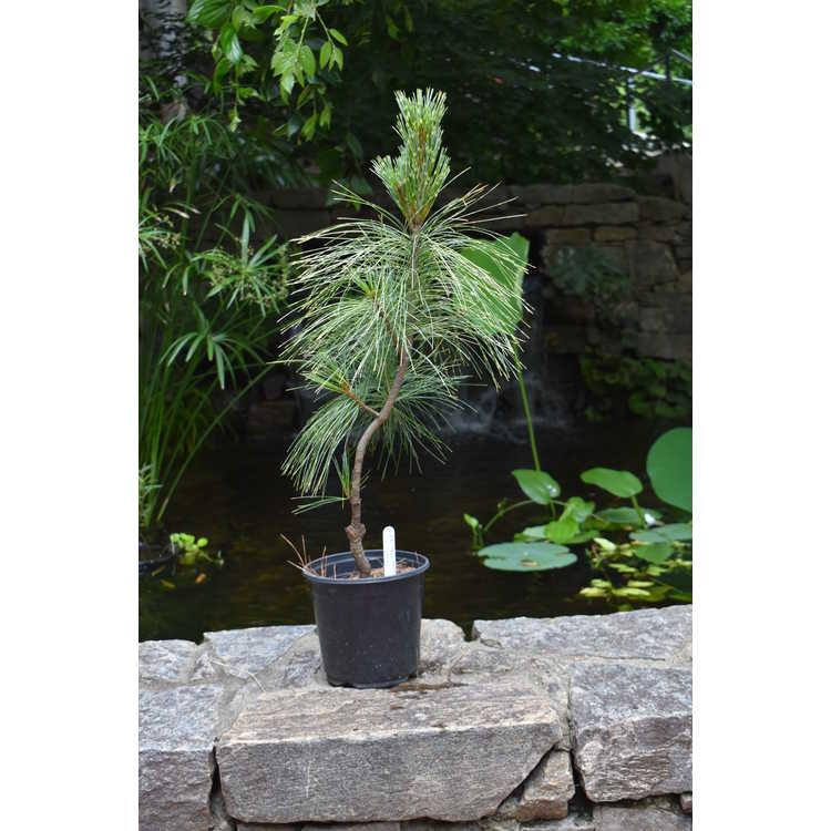 Pinus wallichiana 'Zebrina' - variegated Himalayan pine