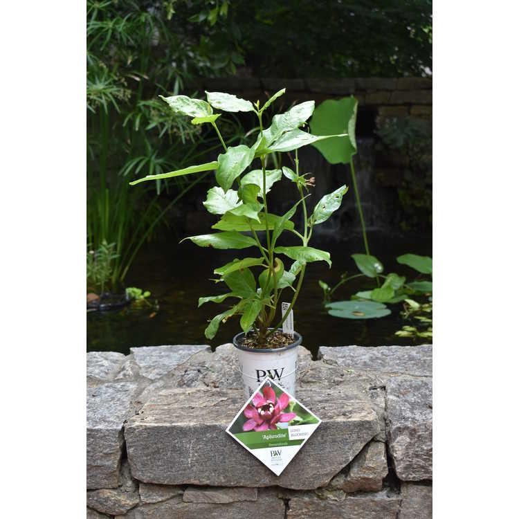 Calycanthus 'Aphrodite' - hybrid sweetshrub
