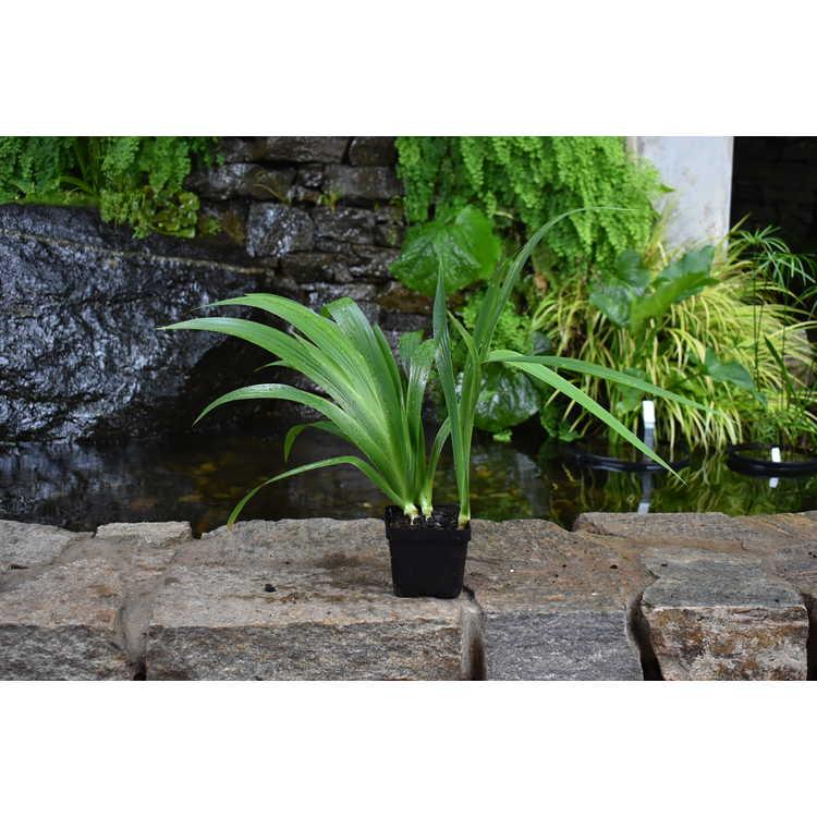 Iris tectorum - Japanese roof iris