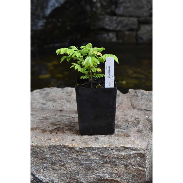 Millettia pulchra - summer wisteria