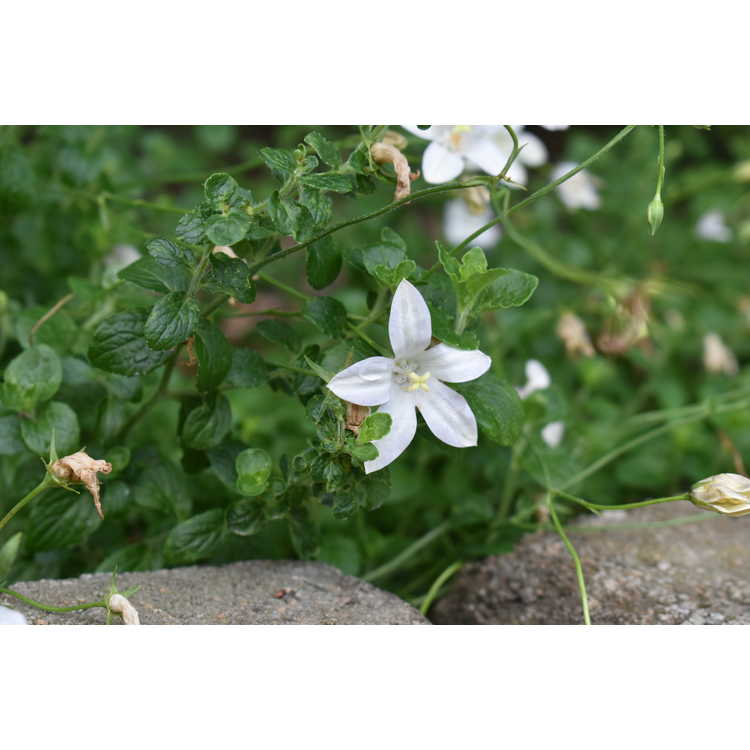 Wahlenbergia rivularis