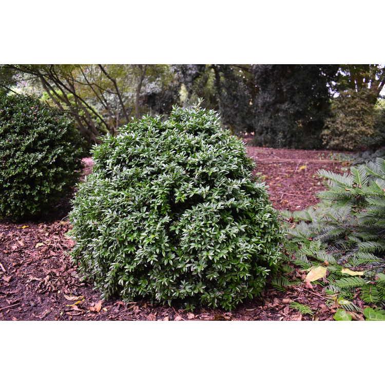 Buxus sempervirens - common boxwood