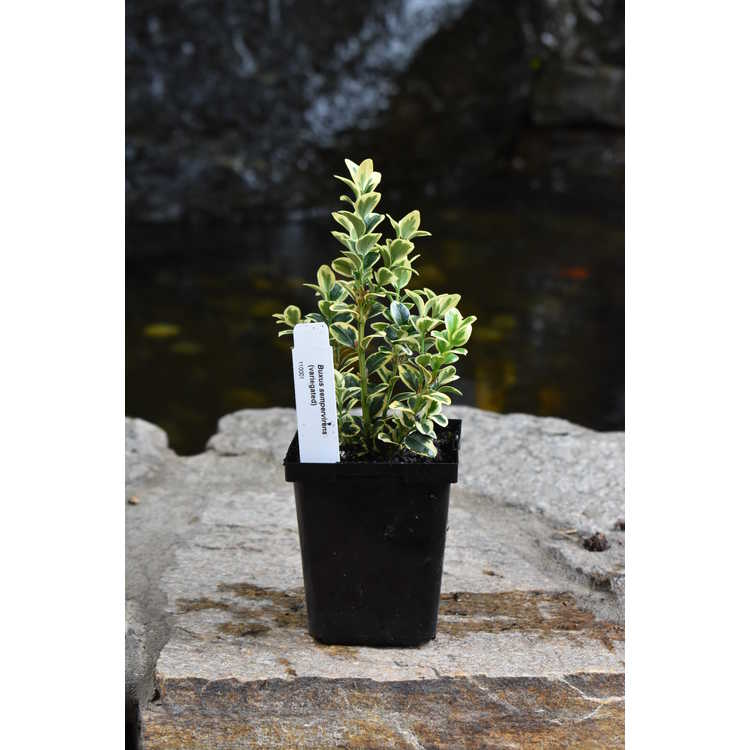 Buxus sempervirens (variegated)