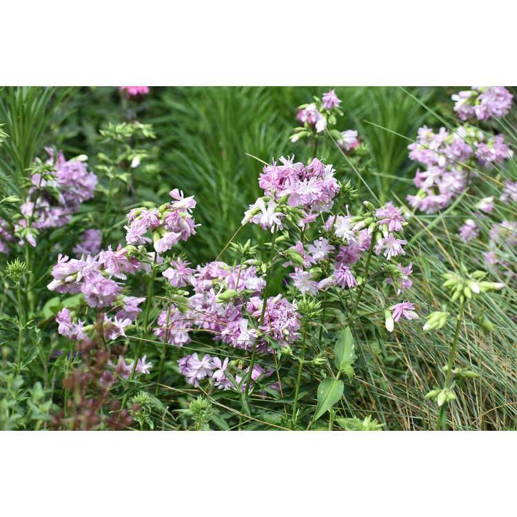 Saponaria officinalis 'Rosea Plena' - double flowered soapwort