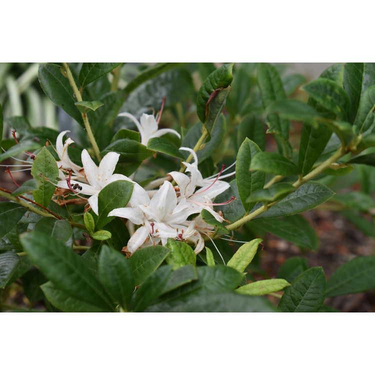 Rhododendron 'Summer Snowball' - Aromi hybrid azalea