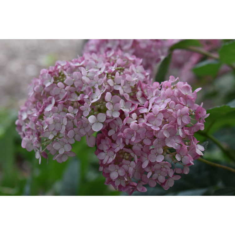 Hydrangea arborescens 'Ncha4' - Incrediball Blush smooth hydrangea