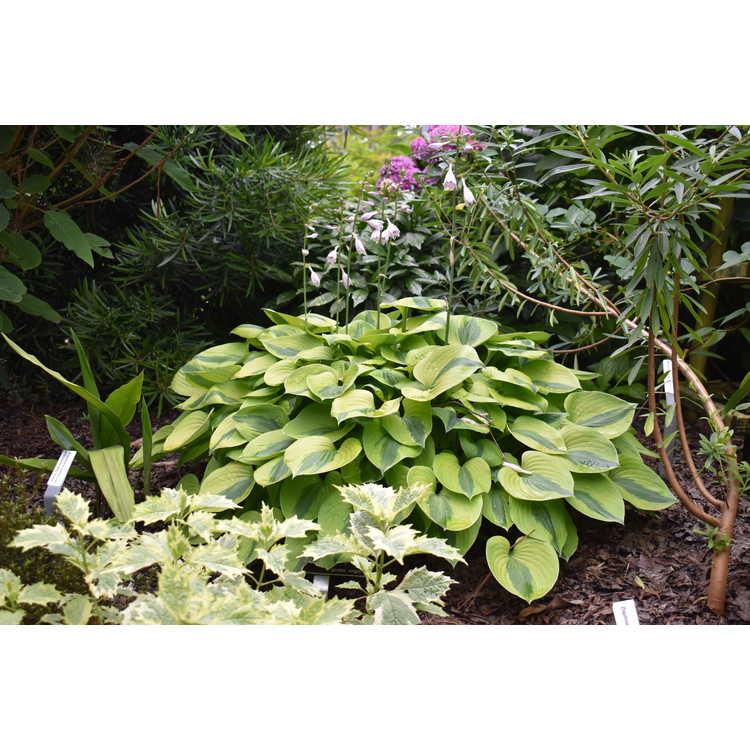 Hosta 'Luna Moth' - plantain lily