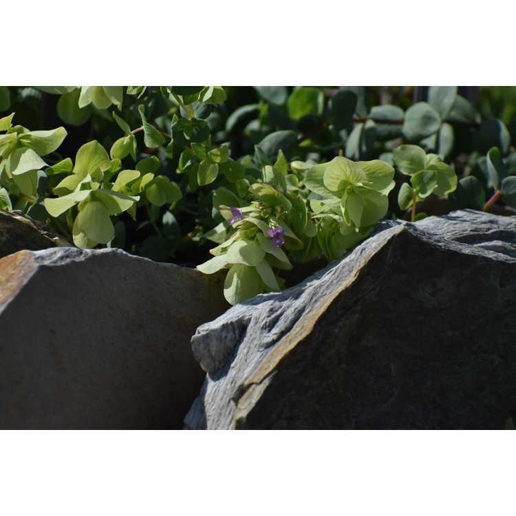 Origanum acutidens