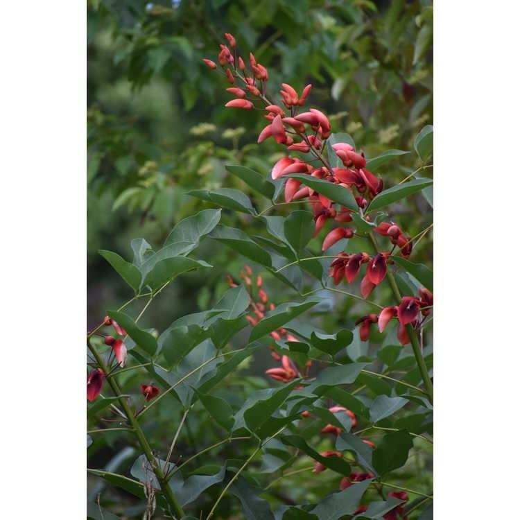 Erythrina crista-galli 'Compacta' - cockspur coral tree