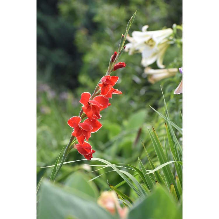 Gladiolus Atomic
