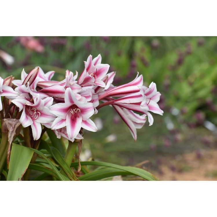 Crinum ×herbertii 'Schreck'