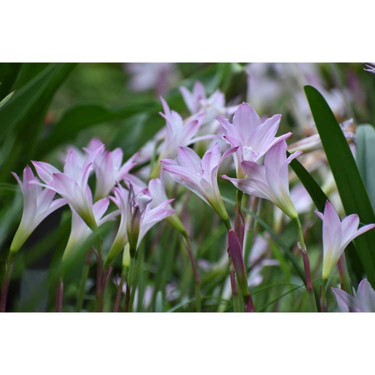 Habranthus robustus 'Russell Manning' - rain-lily