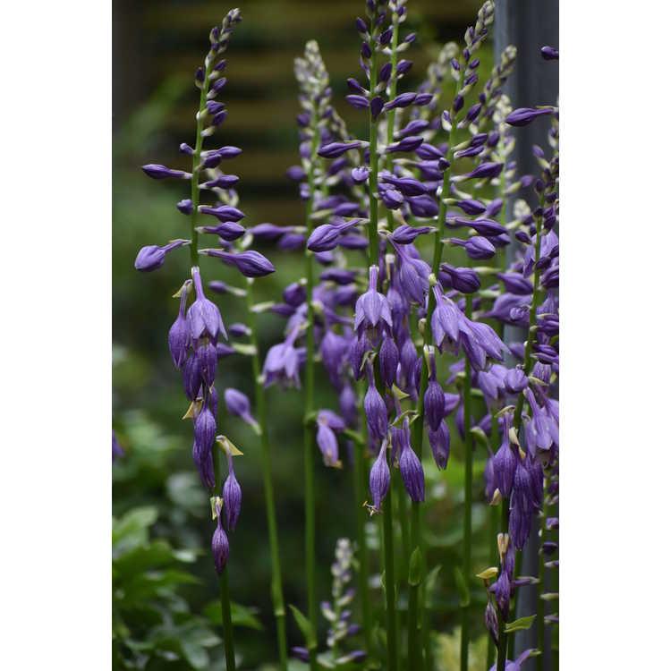 Hosta kiyosumiensis - plantain lily