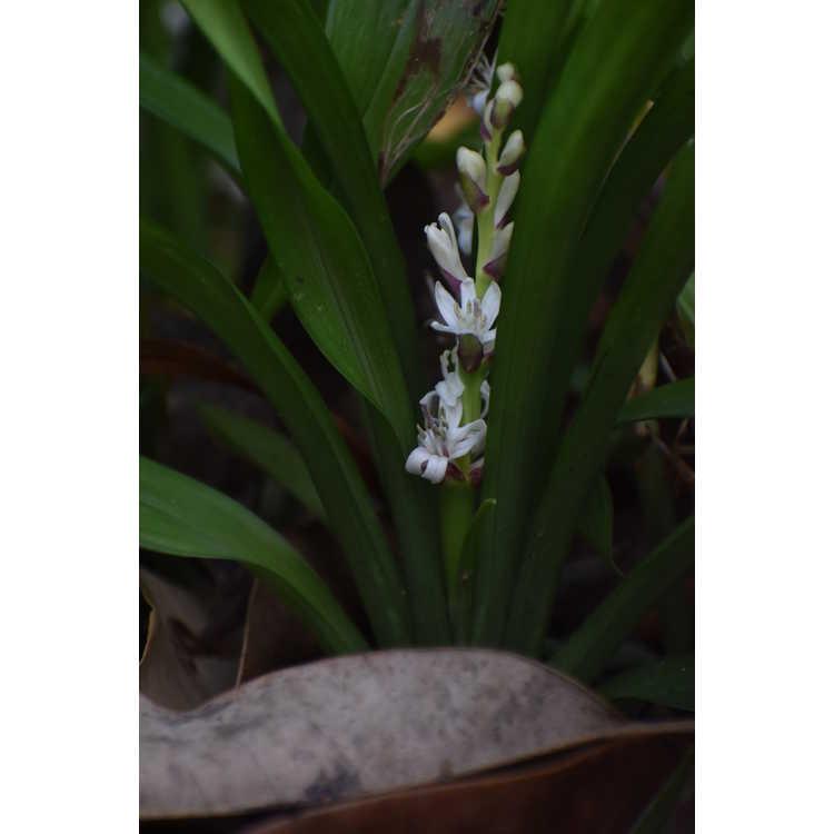 Reineckea carnea - Chinese reineckia