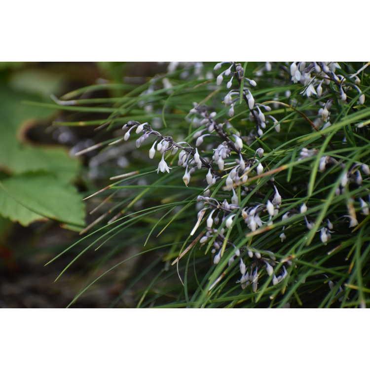 Ophiopogon bodinieri