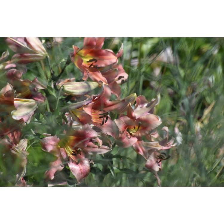 Lilium 'Satisfaction' - hybrid lily