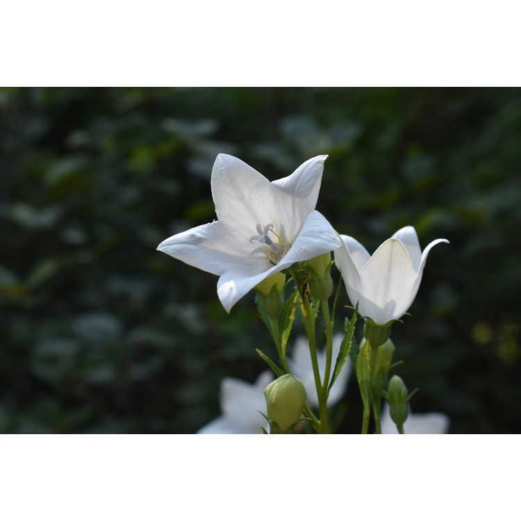 Platycodon grandiflorus 'Fuji White' - white balloon flower