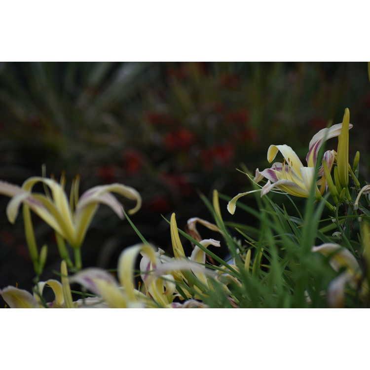 Hemerocallis 'Pterodactyl Eye' - daylily