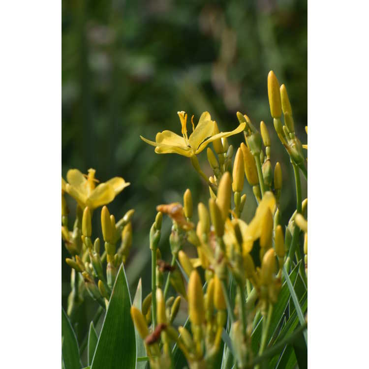 Belamcanda chinensis 'Hello Yellow' - yellow blackberry lily