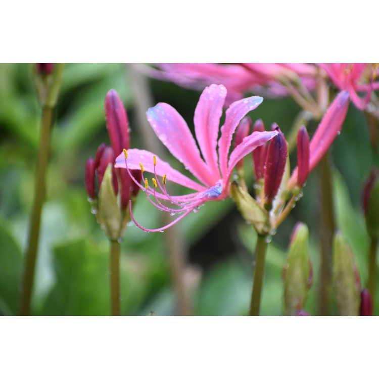 Lycoris ×rosea - rosy surprise-lily
